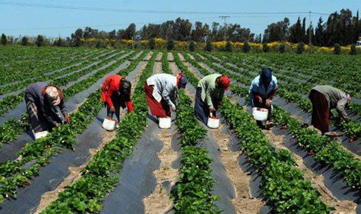 رسمي… إعادة العاملات المغربيات اللواتي يشتغلن في حقول الفراولة